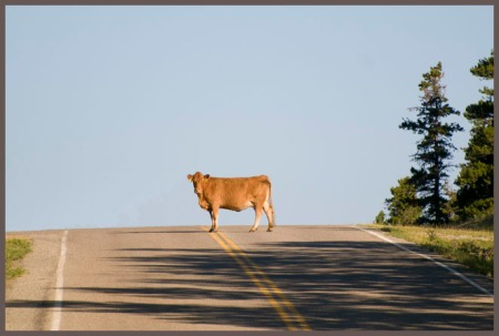 Cow-in-Road